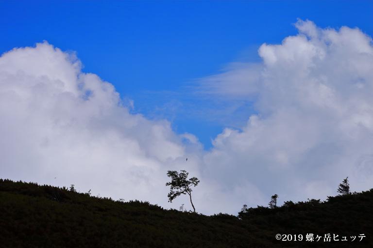 夏雲とダケカンバ